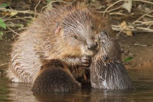 Beavers Build the First Dam on Exmoor after 400 years